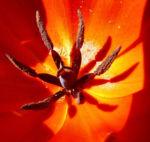 Tulpe rot Tulipa 03