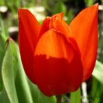 Tulpe rote Bluete Tulipa 02