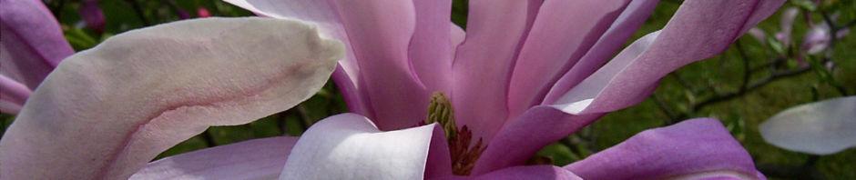 tulpen-magnolie-baum-bluete-rosa-magnolia-x-soulangiana