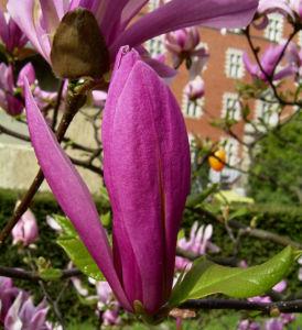 Tulpen Magnolie Baum Bluete rosa Magnolia x soulangiana 06