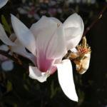 Tulpen Magnolie Baum Bluete weiss rose Magnolia x soulangiana 01