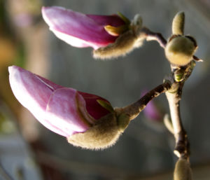 Image: Tulpen Magnolie Baum Bluete weiss rose Magnolia x soulangiana