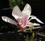 Tulpen Magnolie Baum Bluete weiss rose Magnolia x soulangiana 10