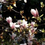 Tulpen Magnolie Baum Bluete weiss rose Magnolia x soulangiana 11