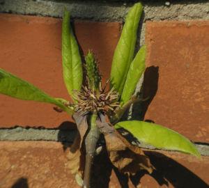 Tulpen Magnolie Blatt gruen Magnolia × soulangeana 08
