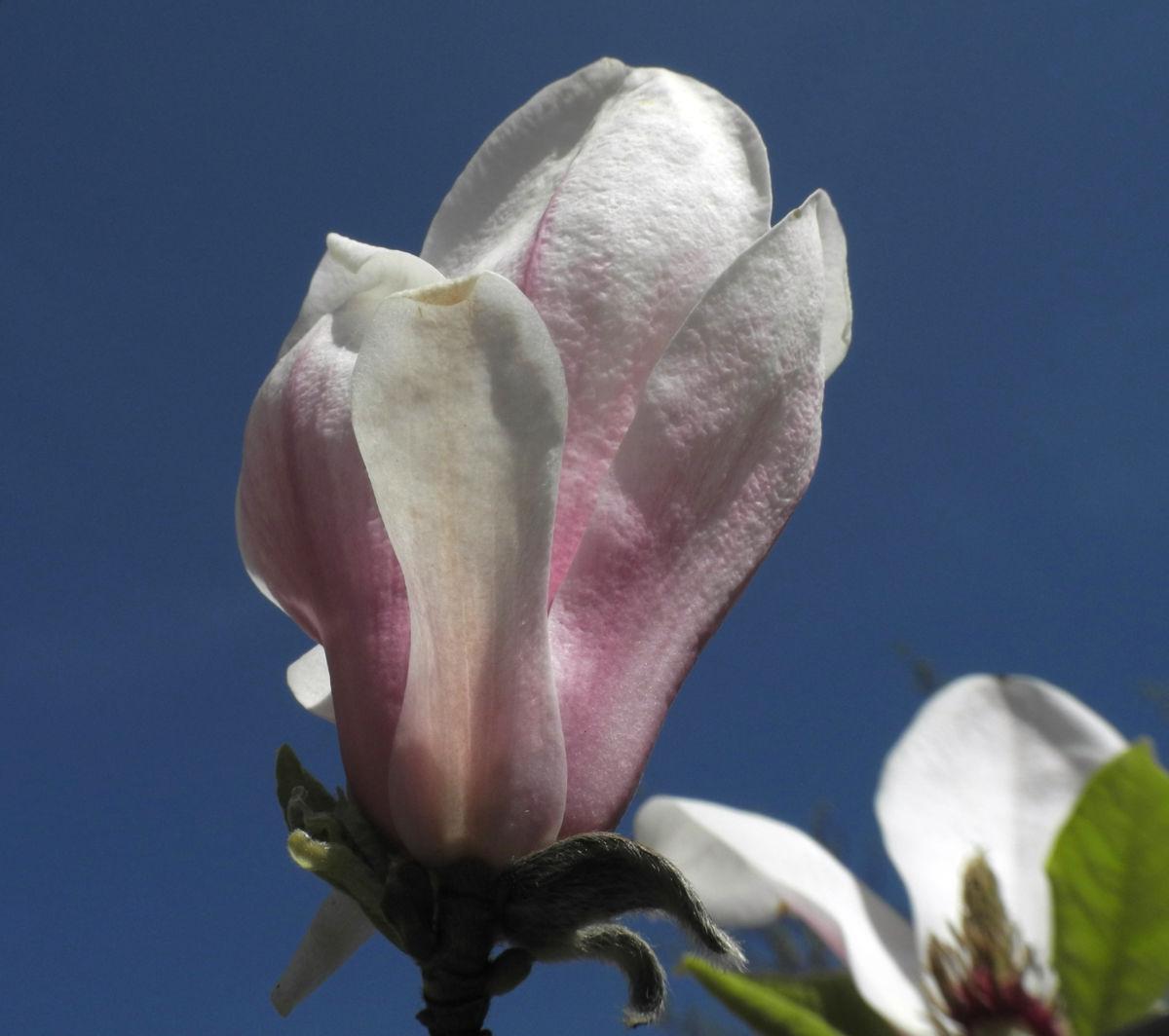 Tulpen Magnolie Bluete weiß rosa Magnolia × soulangeana