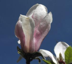 Tulpen Magnolie Bluete weiß rosa Magnolia × soulangeana 11