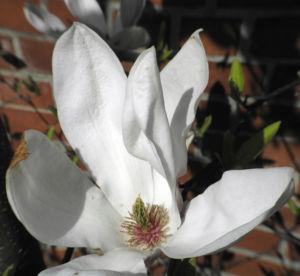Tulpen Magnolie Bluete weiß rosa Magnolia × soulangeana 17