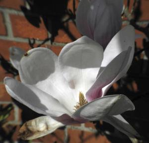 Tulpen Magnolie Bluete weiß rosa Magnolia × soulangeana 19