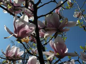 Tulpen Magnolie Bluete weiß rosa Magnolia × soulangeana 26