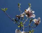 Bild: Tulpen-Magnolie Blüte weiß rose Magnolia × soulangeana