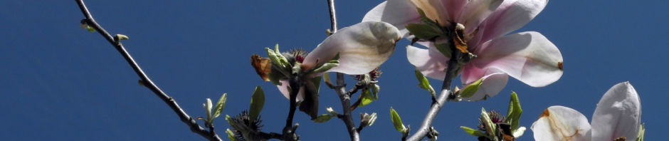 tulpen-magnolie-bluete-weiss-rose-magnolia-x-soulangeana