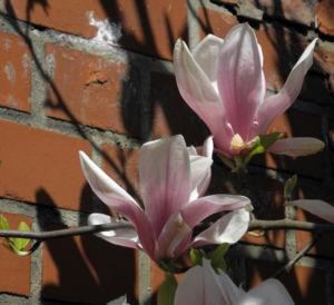Tulpen Magnolie Bluete weiß rosa Magnolia × soulangeana 31