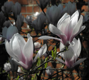 Tulpen Magnolie Bluete weiß rosa Magnolia × soulangeana 33