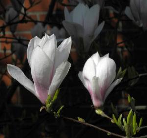 Tulpen Magnolie Bluete weiß rosa Magnolia × soulangeana 34