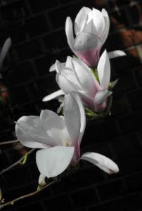Tulpen Magnolie Bluete weiß rosa Magnolia × soulangeana 35