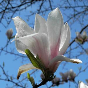 Tulpen Magnolie Bluete weiß rosa Magnolia × soulangeana 38