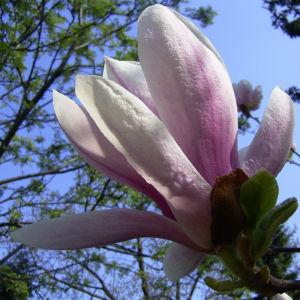 Tulpen Magnolie Bluete Magnolia x soulangiana 03
