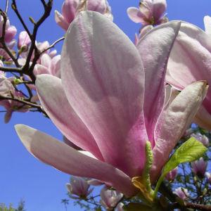 Tulpen Magnolie Bluete Magnolia x soulangiana 05
