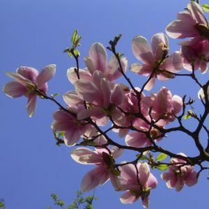 Tulpen Magnolie Bluete Magnolia x soulangiana 06