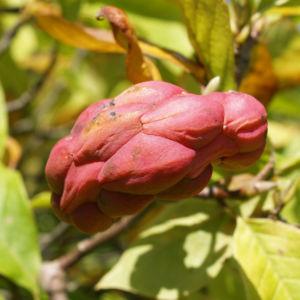 Tulpen Magnolie Frucht rot Blatt gelblich Magnolia x soulangiana 01