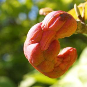 Tulpen Magnolie Frucht rot Blatt gelblich Magnolia x soulangiana 02