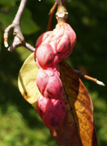 Tulpen Magnolie Frucht rot Blatt gelblich Magnolia x soulangiana 03