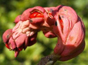Tulpen Magnolie Frucht rot Blatt gelblich Magnolia x soulangiana 06
