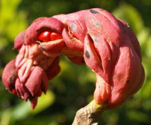 Tulpen Magnolie Frucht rot Blatt gelblich Magnolia x soulangiana 07