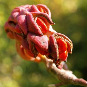 Tulpen Magnolie Frucht rot Blatt gelblich Magnolia x soulangiana 08