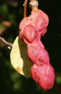 Tulpen Magnolie Frucht rot Blatt gelblich Magnolia x soulangiana 10