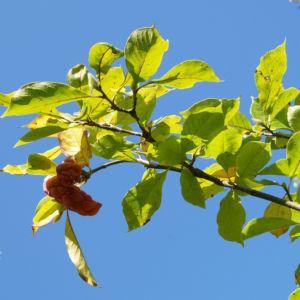 Tulpen Magnolie Frucht rot Blatt gelblich Magnolia x soulangiana 12
