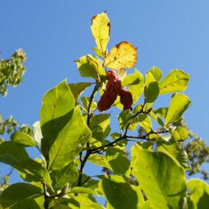Tulpen Magnolie Frucht rot Blatt gelblich Magnolia x soulangiana 13