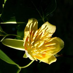 Tulpenbaum Bluete gelb gruen Liriodendron tulipifera 01