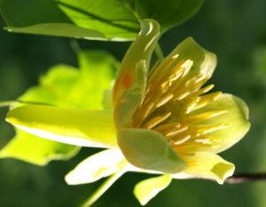 Tulpenbaum Bluete gelb gruen Liriodendron tulipifera 04