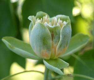 Tulpenbaum Bluete gelb gruen Liriodendron tulipifera 05