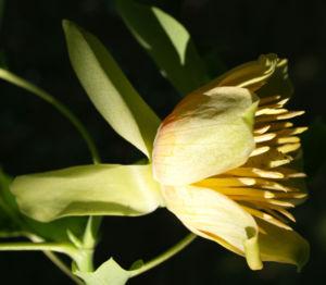 Tulpenbaum Bluete gelb gruen Liriodendron tulipifera 07