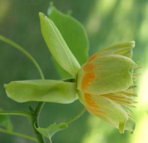 Tulpenbaum Bluete gelb gruen Liriodendron tulipifera 08