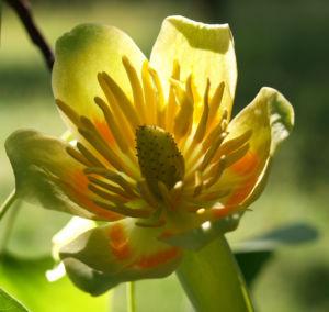 Tulpenbaum Bluete gelb gruen Liriodendron tulipifera 10