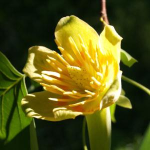 Tulpenbaum Bluete gelb gruen Liriodendron tulipifera 12