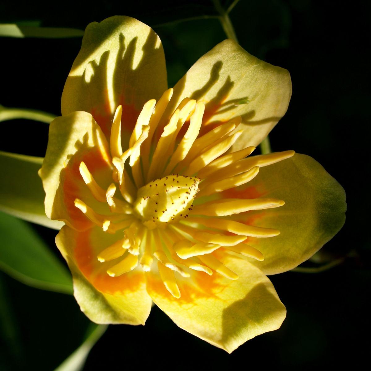 Tulpenbaum Bluete gelb gruen Liriodendron tulipifera