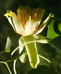 Tulpenbaum Bluete gelb gruen Liriodendron tulipifera 15