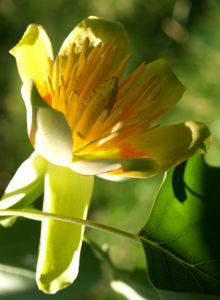Tulpenbaum Bluete gelb gruen Liriodendron tulipifera 16
