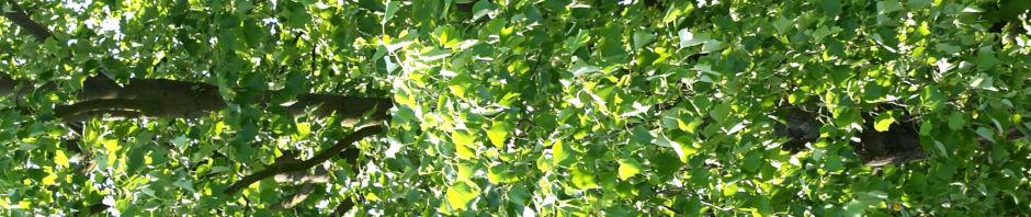 tulpenbaum-bluete-gelb-gruen-liriodendron-tulipifera