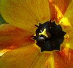 Tulpenbluete rotgelb Tulipa 01