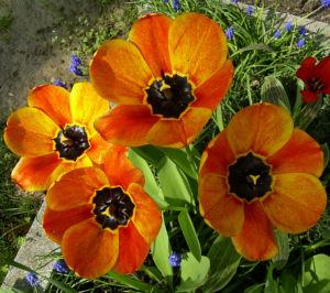 Tulpenbluete rotgelb Tulipa 05