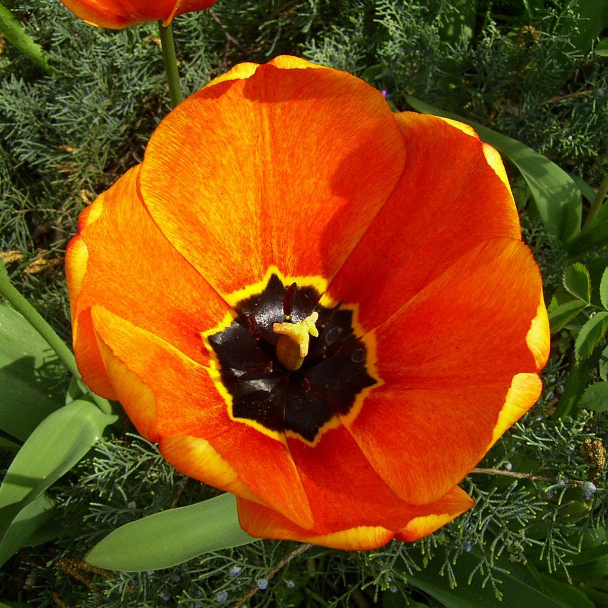 Tulpenbluete rotgelb Tulipa