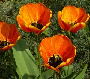 Tulpenbluete rotgelb Tulipa 08