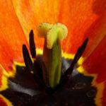 Tulpenbluete rotgelb Tulipa 09