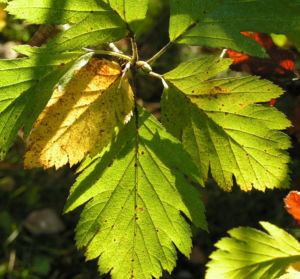 Turkestanische Mehlbeere Blatt grün Frucht rot Sorbus turcestanica
